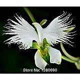 Japanische Radiata Samen weißer Reiher Orchid Seeds Welt Seltene Orchideen-Arten Weiße Blumen Orchidee Garten & Heimpflanzungs