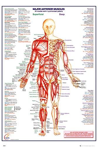 GB Eye menschlichen Körper Major Anterior Muskeln Maxi Poster, Holz, mehrfarbig