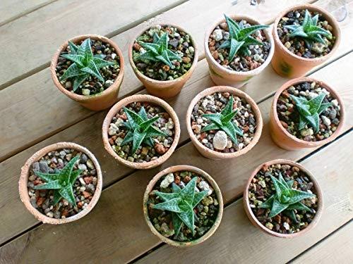 Generic Aloe variegata saftiges Südafrika/Namibia