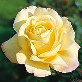Edelrose Gloria Die in lichtgelb mit rosa Rand - Duftrose winterhart - Rosen-Blüte in lichtgelb mit rosa Rand - Rose stark duftend im 5 Liter Container von Garten Schlüter - Pflanzen in Top Qualität