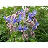 BORAGE - Borago officinalis - Garden Herb - 100 SEEDS
