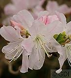 Koreanische Azalee 25-30cm- Rhododendron schlippenbachii