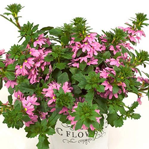 Volmary Fächerblume \'Abanico Rose\' | pinke Blüten | toll für den Kübel | überhängend | 1 Pflanze