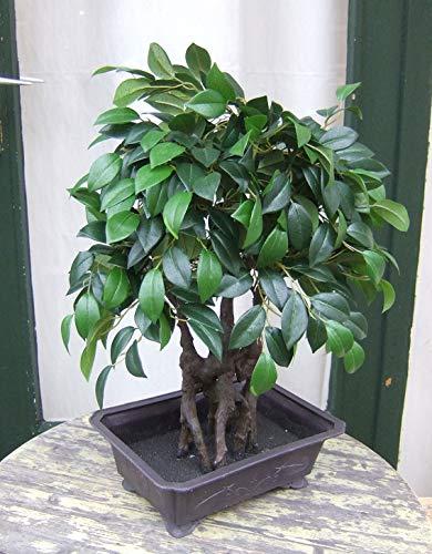 Licht & Grün Künstlicher Bonsai Ficus in Schale ca. 60cm Top-Qualität