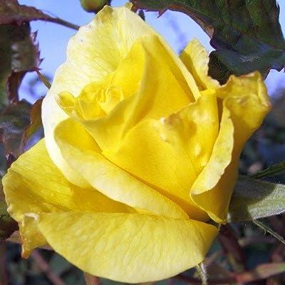 Friesia® Hochstammrose von Rosen-Weber bei Du und dein Garten