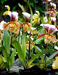 Vivai Le Georgiche Orchidea Paphiopedilum Scarpetta