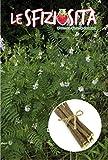❦ 50 Graines de réglisse C.ca - Glabra Glycyrrhiza dans son emballage d'origine Made in Italy - Sfiziosità Pianta