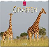 GIRAFFEN: Original Stürtz-Kalender 2018 - Mittelformat-Kalender 33 x 31 cm -
