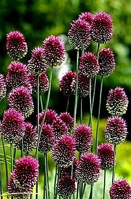 """Allium """" Sphaerocephalum """" (5) von GHA-Thulke bei Du und dein Garten"""