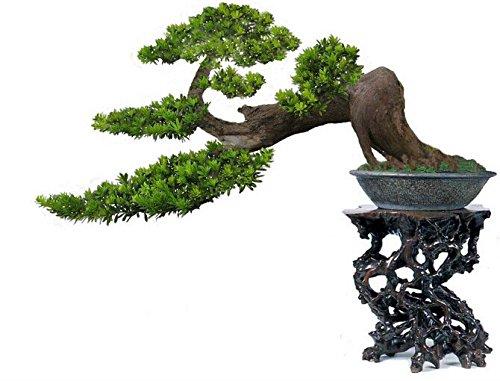 podocarpus Samen podocarpus Bonsai-Baum podocarpus macrophyllus, 100{97c553b69001ea1e1cb8e35a016f58da50dbe43d5e7f4aff167d39e40732101b} echtem Samen, 5 PC / bag