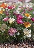TROPICA - Kalifornischer Seidenmohn `Mixture` (Eschscholzia californica)-100 Samen