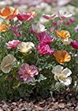 TROPICA - Kalifornischer Seidenmohn `Mixture` (Eschscholzia californica)-100 Samen