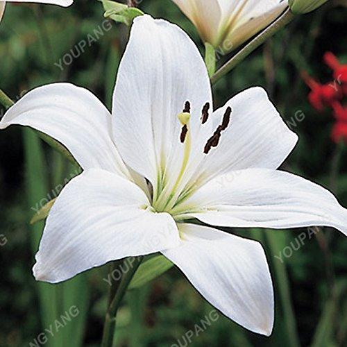 100 / sac blanc péruvien Lily Graines péruvienne Lily Mix (Alstroemeria) Graines de fleurs vivaces pure pour les plantes Bonsai pour jardin vert