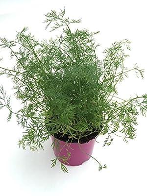 Dill Pflanze, Marktfrische Kräuterpflanze aus Nachhaltigem Anbau ! (Anethum graveolens) von Weseler Kräuterparadies - Du und dein Garten