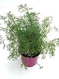 Dill Pflanze, Marktfrische Kräuterpflanze aus Nachhaltigem Anbau ! Kräuter Pflanze