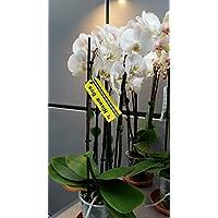 Orquídea, blanco, 3 espigas, min. 15 flores, tamaño del bote 12, 50-60cm de alto
