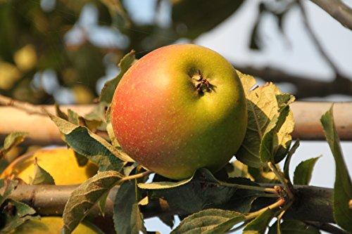 Apfel Rote Goldparmäne Busch im 7,5 l Topf, 60 cm Stammhöhe