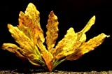 Rot getüpfelte Schwertpflanze / Echinodorus ozelot rot