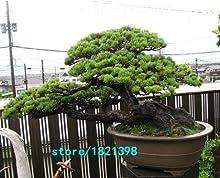 Nuevas semillas de árboles de 100 semillas japonesas cinco hojas de pino Negro, 4 temporada semillas verdes bonsai