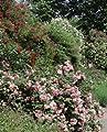 Strauchrose 'Centenaire de Lourdes' A-Qualität Wurzelware von Rosen-Union - Du und dein Garten