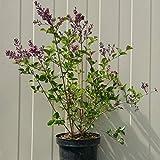 Müllers Grüner Garten Shop Flieder Syringa Bloomerang ® Dark Purple dunkel-lila blühend ca. 40-60 cm Pflanze im 3 L Topf