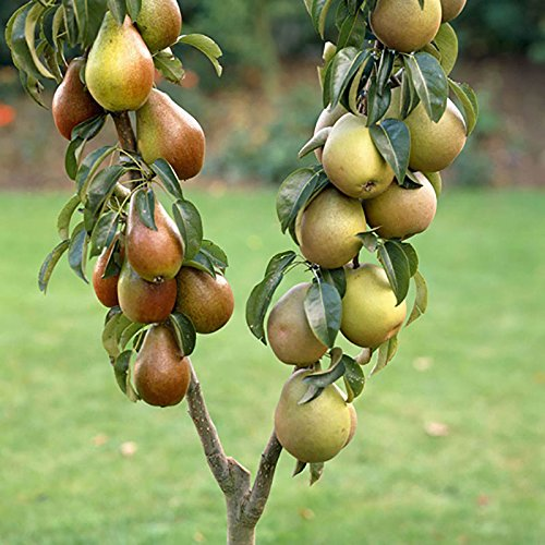 duo-fruit-pear-tree-2-varieties-on-one-tree-14m