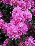 Alpenrose Rhododendron Roseum Elegans 40-50 cm hoch im 5 Liter Pflanzcontainer