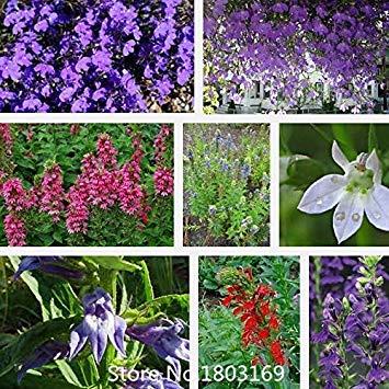 2016 100 sombres graines de lobelia bleu CRYSTAL PALACE excellent pour les jardins de roche ou papillon graines jardins de fleurs pour la maison Mix C