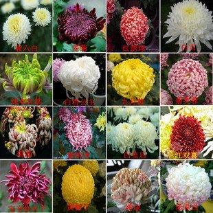 saisonale Blumen Chrysantheme Samen Daisy Saatgutqualität Samen Heim & Garten (Saisonale Visionen)