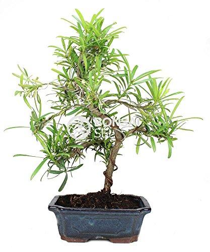 Bonsai - Podocarpo / Arbol de los budistas, 9 Años (Bonsai Sei - Podocarpus)