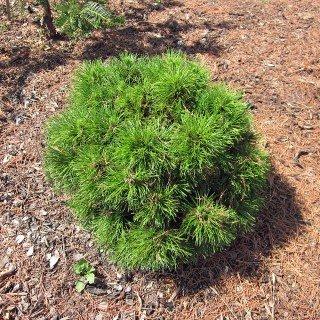 Bergkiefer 'Varella' - Pinus mugo 'Varella' - Immergrünes Zwerggehölz