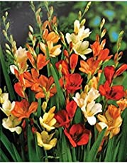 Kriti Kalash Tritonia / Flame Freesia Flower Bulbs, Kitchen Garden, One of The Most Popular Flower Bulbs In India, Colourful Multi-coloured 11 Bulbs Maroon Outside with Yellow Inside Amazing Beautiful Flower Winter Season