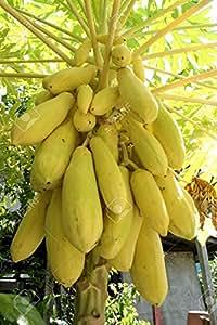 Primrose Gardens Bonsai Suitable Dwarf Thai Golden Long Papaya Short Tree Imported Seeds 20 Seeds
