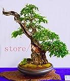 20 seltene japanische Bonsai-Baum Kirschbaum Mini Bonsai Sakura für Heimtextilien