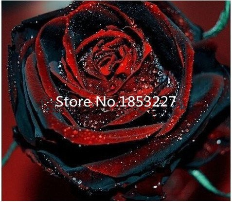 True Blood Black Rose 200PCS semi di rosa fiori rari semi per giardino bonsai piantano il trasporto libero Semillas de rosa BLACK ROSE