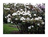 5 x Rododendro Griffithianum Bianco Seme Cespuglio Giardino Pianta Id49