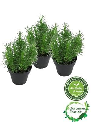 Olivenkraut im 3er Set,Olivenstrauch,Santolina viridis von Weselerkräuterparadies - Du und dein Garten