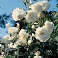 Schneewittchen® Strauchrose von Rosenschule Stange bei Du und dein Garten