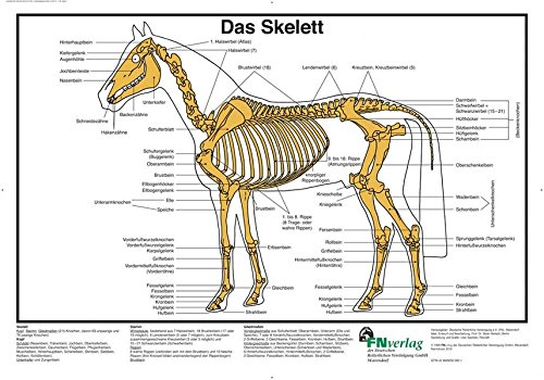 Das Skelett: FN-Lehrtafel (FN-Lehrtafeln)