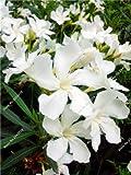 Nerium Oleander Samen Seltene Bonsai Topfpflanze Vier Jahreszeiten Schöne Staude Blumen DIY Hausgarten-Dekoration Pflanzen 100 PCS 4