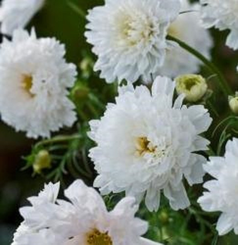 cosmos-double-click-snow-puff-20-seeds