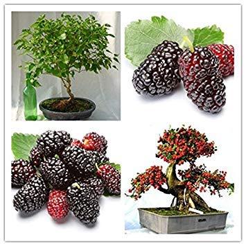 freies Schiff 40seeds mulb erry Taschen Mulberry Fruchtsamen DIY Bonsai Morus Nigra Baum, schwarze Maulbeere Samen