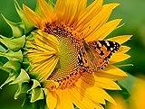 5D Diamant Gemälde Kreuzstich Kits DIY handgefertigt Full Drill Kunstharz Diamant Stickerei Mosaik Geschenke mit Macht Tools Set für Home Dekoration, Sonnenblumen, 25x30cm