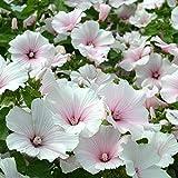 Portal Cool Dwarf Lavatera Rosa Bush 80 Blumensamen/wird wachsen in jedem Boden/Für Betten & Border