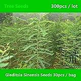 Shopmeeko ^^ Familie Leguminosae Gleditsia Sinensis ^^^^ 300pcs, Chinesischer Honig-Heuschrecke-Baum ^^^^, Heilpflanzen chinesischer Honeylocust ^^^^