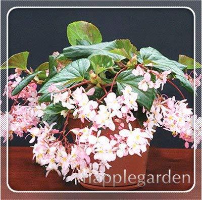 pinkdose 20 pz begonia pianta bonsai fiore pianta fai da te decorazione del giardino begonie bonsai in vaso facile da coltivare albero dwarf houseplants: 11