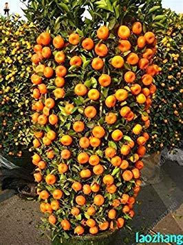 1, weiß: Echte Citrus Pflanze Bonsai Mandarine Flores Eßbares Obst Bonsai-Baum plantas Gesunde Nahrung Hausgarten-Leicht 10 Stück zu wachsen: Weiß