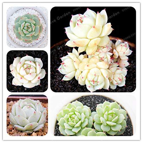 Shoopy Star 100 Pcs style japonais graines de frangipanier bonsaïs en pot pour le jardin de la maison