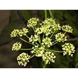 1000 GIANT ITALIAN FLAT LEAF PARSLEY Petroselinum Crispum Neapolitanum Herb Vegetable Flower Seeds by Seedville