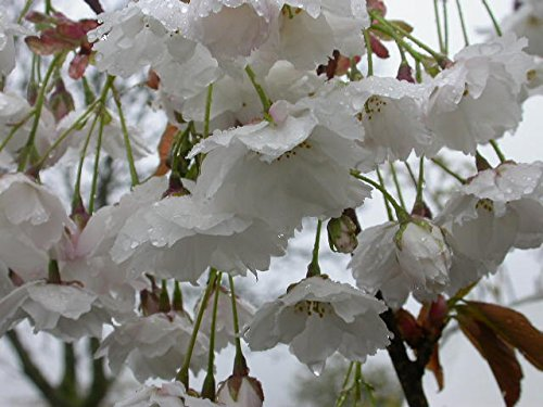 Flowering Cherry 'Fragrant Cloud' A beautiful perfumed